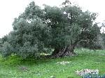 olivier de sardaigne